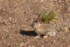 Baby Cottontail Rabbit Royalty Free Stock Photography