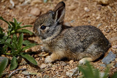Baby Cottontail Rabbit Stock Photo