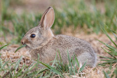 Baby Cottontail Rabbit Eating Royalty Free Stock Images