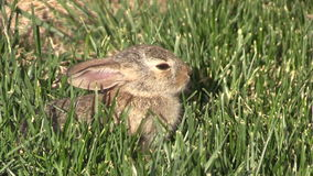 Baby Cottontail stock footage
