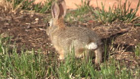 Baby Cottontail Rabbit stock footage