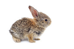 Baby Cottontail. A baby cottontail rabbit, isolated on a white background Stock Image