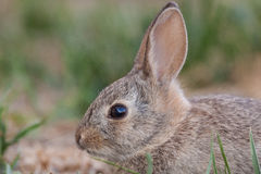 Baby Cottontail Rabbit Portrait Stock Photography