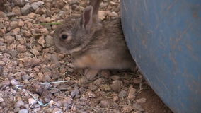 Baby Cottontail Rabbits stock video
