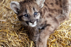 Baby Cougar royalty free stock image