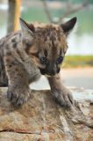 Baby cougar. S are born after about 91 days of gestation Stock Photos