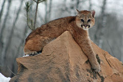 Baby cougar lounging on a rock Royalty Free Stock Images