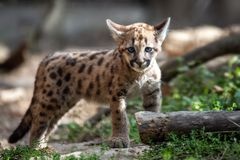 Baby cougar, mountain lion or puma. Portrait baby cougar, mountain lion or puma royalty free stock photos