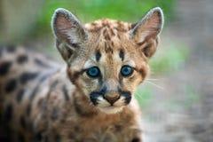 Baby cougar, mountain lion or puma. Portrait baby cougar, mountain lion or puma stock image
