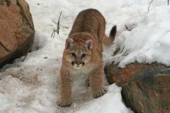 Baby cougar in the snow. Baby cougar on a snowy hillside royalty free stock images