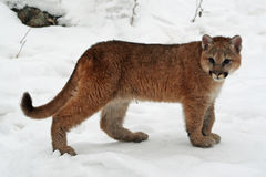 Baby cougar in the snow. Baby cougar in the wintery snow royalty free stock photography