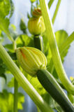 Baby courgettes with young flowers Stock Images