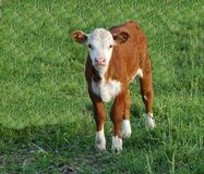 Baby Cow. Grazing in a field stock photos
