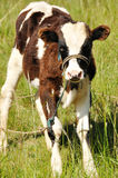 A baby cow Royalty Free Stock Image