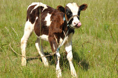 A baby cow royalty free stock photos