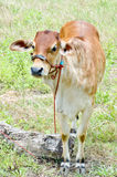 Baby cow Royalty Free Stock Photos