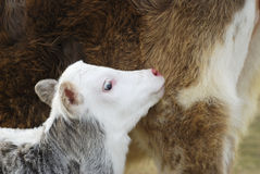 Baby cow. A baby cow on the farm land Royalty Free Stock Photo