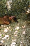 Baby Cow Resting on Straw. Baby cow in the barn resting against hay bales on North Georgia mountains farm royalty free stock photography