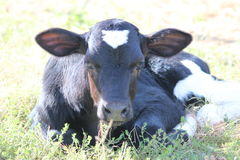Baby Cow. Beautiful Baby Cow at the petting zoo stock photography