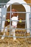 Baby cow calf in a cage Stock Photos