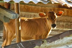 Baby cow - calf in the farm. In cowshed Royalty Free Stock Photos