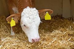 Baby cow calf in straw Stock Photography