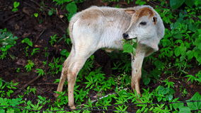 Baby Cow. Cattle—colloquially cows—are the most common type of large domesticated ungulates Stock Images