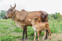 Baby cow Stock Photo