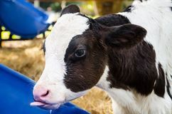 Baby cow drinking water Royalty Free Stock Photos