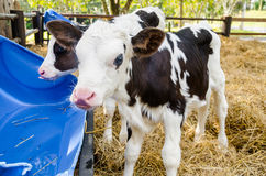 Baby cow drinking water. Stock Image