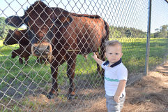 Baby with cow at a farm Stock Image