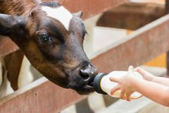 Baby cow feeding on milk bottle by hand child. Closeup - Baby cow feeding on milk bottle by hand child in Thailand rearing farm Royalty Free Stock Photos