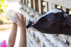 Baby cow feeding on milk bottle by hand child. Closeup - Baby cow feeding on milk bottle by hand child in Thailand rearing farm Stock Photos
