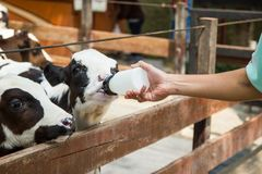 Baby cow feeding on milk bottle by hand man in Thailand rearing farm. Closeup - Baby cow feeding on milk bottle by hand man in Thailand rearing farm Royalty Free Stock Image