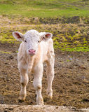 Baby Cow in Field Royalty Free Stock Photography