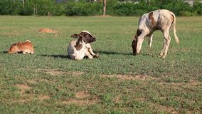 Baby Cow on field of grass stock video footage