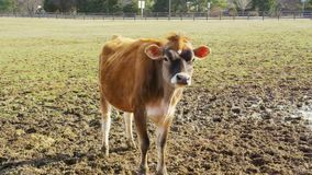 Baby cow looking at camera. Video of baby cow looking at camera stock footage