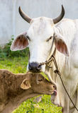 Baby cow with mom. In green farm Royalty Free Stock Photos