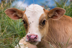 Baby cow on a mountain pasture looking at the camera Stock Photos