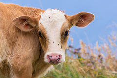 Baby cow on a mountain pasture looking at the camera Stock Images