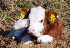 Baby cow in Northumberland, England. UK Royalty Free Stock Photos