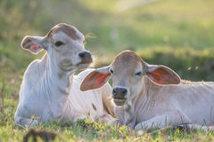 Baby cow Stock Photography