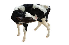 Baby cow on a white background,Isolated Royalty Free Stock Photo