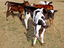 Baby cows or calves Royalty Free Stock Photo