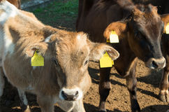 Baby cows. Calves. Royalty Free Stock Image