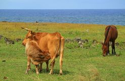 Baby cows drinking mother cow`s milk at seaside near Ahu Tongariki on Easter island of Chile. Beauty in Nature royalty free stock image