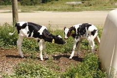 Baby Cows Kiss Stock Image