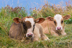 Baby cows on a mountain pasture looking at the camera Royalty Free Stock Images