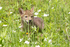 Baby coyote playing in a field stock images