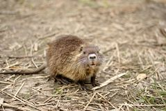 Baby coypu Royalty Free Stock Photography